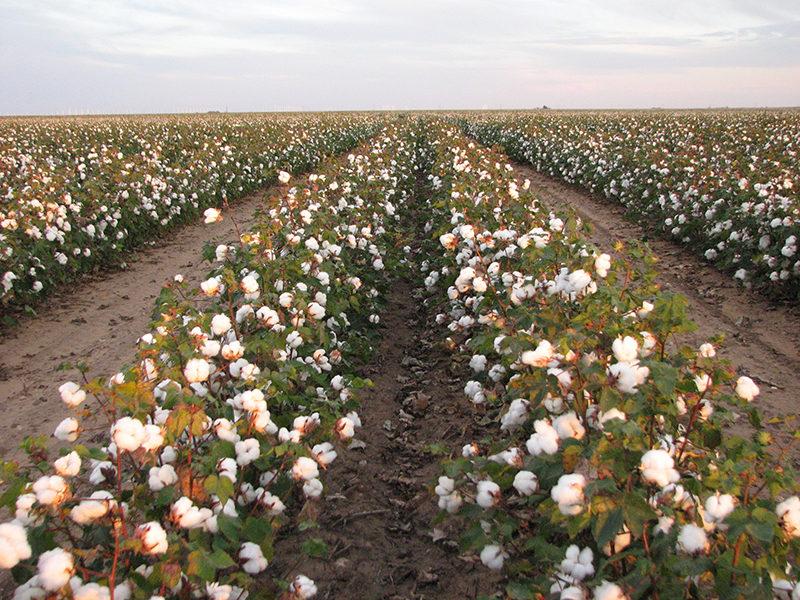 03-cotton